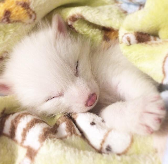 Heres The Sleepiest And Cutest Domesticated Fox You Can Follow - Domesticated baby fox is the cutest and sleepiest pet ever